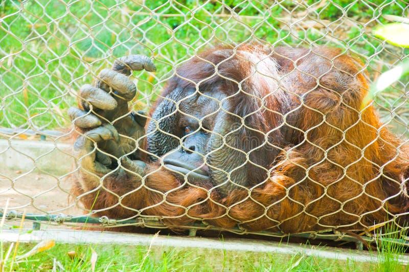 orangutan arkivfoto