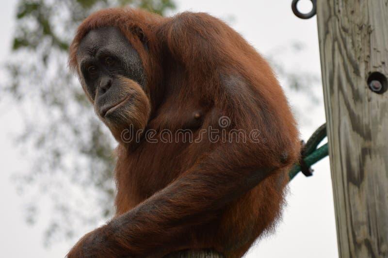 Orangutan fotografie stock