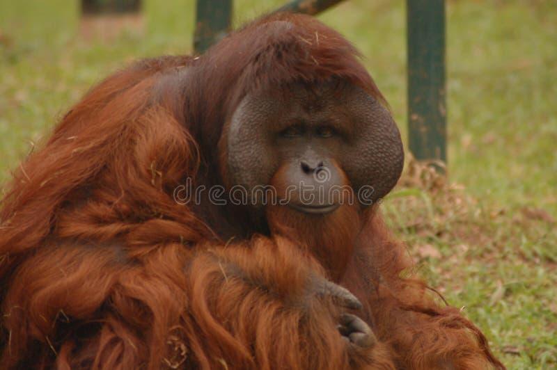 Orangutan fotografie stock libere da diritti