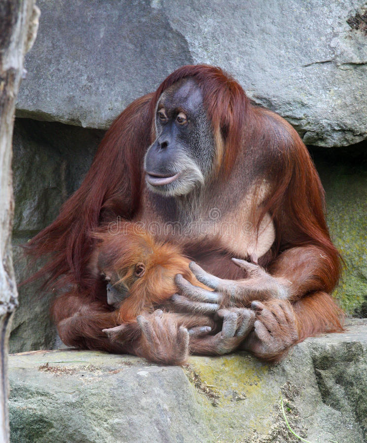 Orangutan with baby stock image