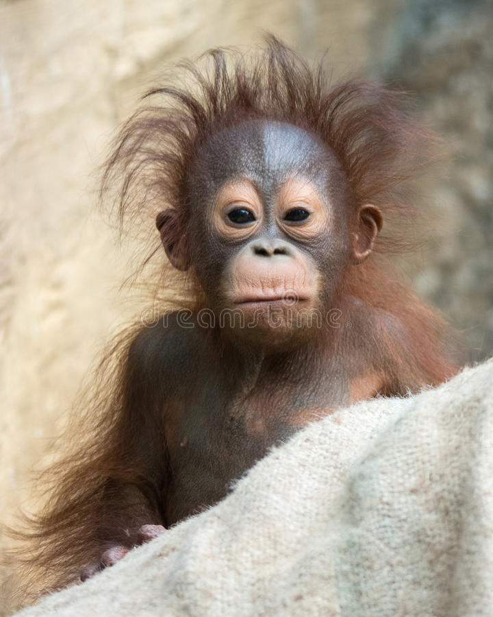 Orangutan - Baby with funny face. 6 months old orangutan baby with funny face stock photography