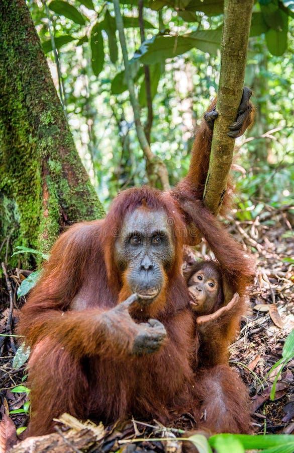 Orangutan baby and Mother. Orangutan baby sucks its mother`s breast milk. Mother and cub in a natural habitat. Bornean orangutan Pongo pygmaeus wurmbii in the royalty free stock photos
