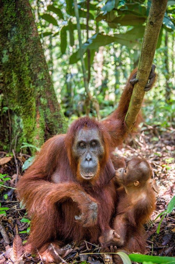 Orangutan baby and Mother. Orangutan baby sucks its mother`s breast milk. Mother and cub in a natural habitat. Bornean orangutan Pongo pygmaeus wurmbii in the stock photography