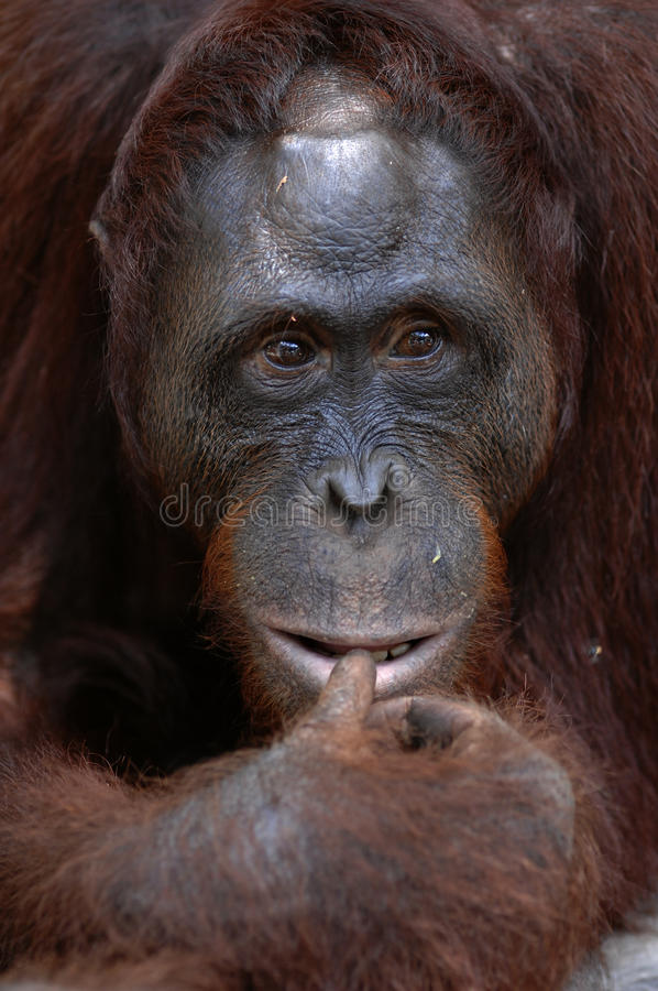 Download Orangutan Ben. Royalty Free Stock Photography - Image: 18779057