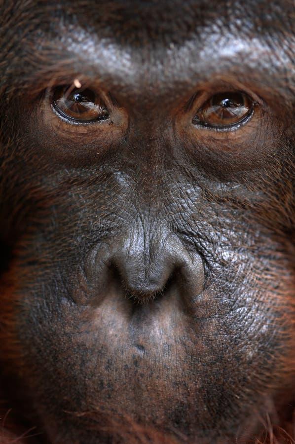 orangutan ben стоковые фото