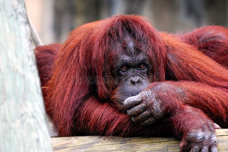 Orangutan Bornean χαλάρωση στοκ εικόνα με δικαίωμα ελεύθερης χρήσης