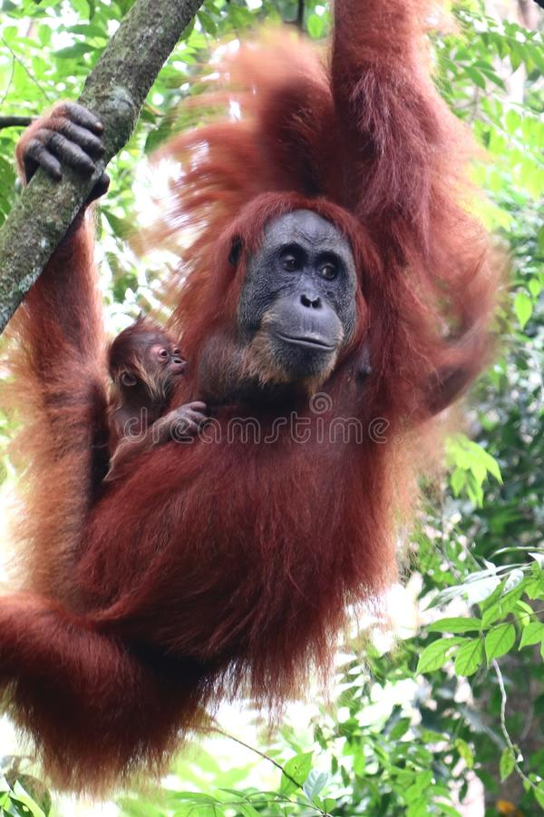 Orangutan caring Mother royalty free stock photo