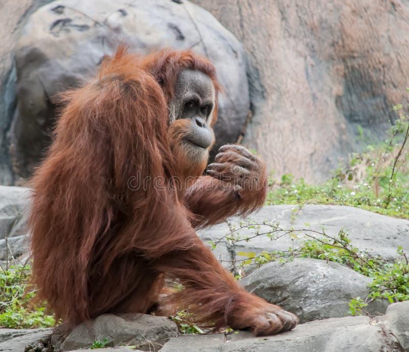 Orangutan che dà una occhiata alla folla fotografia stock libera da diritti
