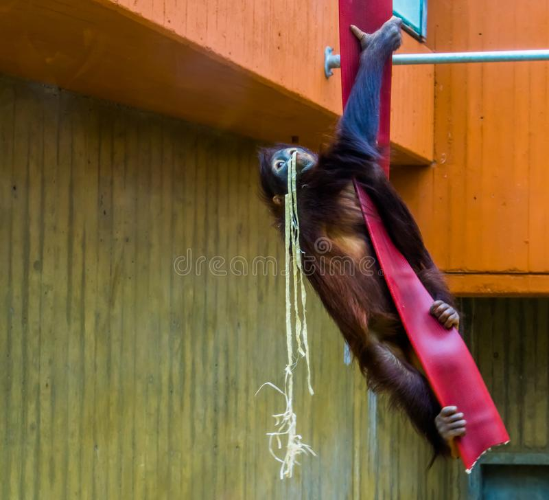 Orangutan che scala in una corda, comportamenti animali tipici, specie animale criticamente pericolosa di Bornean dall'Asia fotografie stock libere da diritti