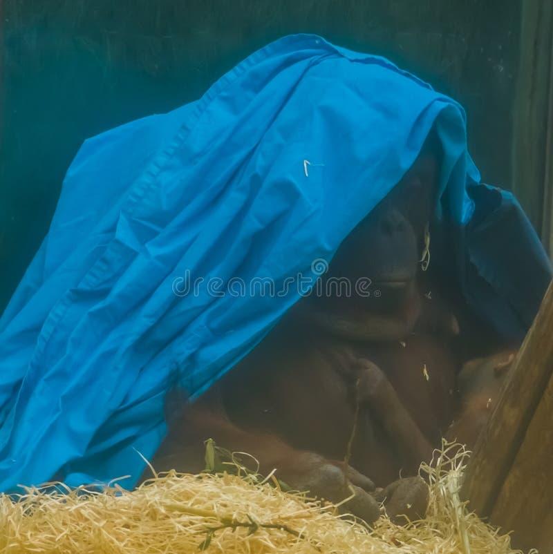 Orangutan che si nasconde sotto uno strato di plastica, madre di Bornean che alimenta il suo bambino, specie animale criticamente fotografie stock