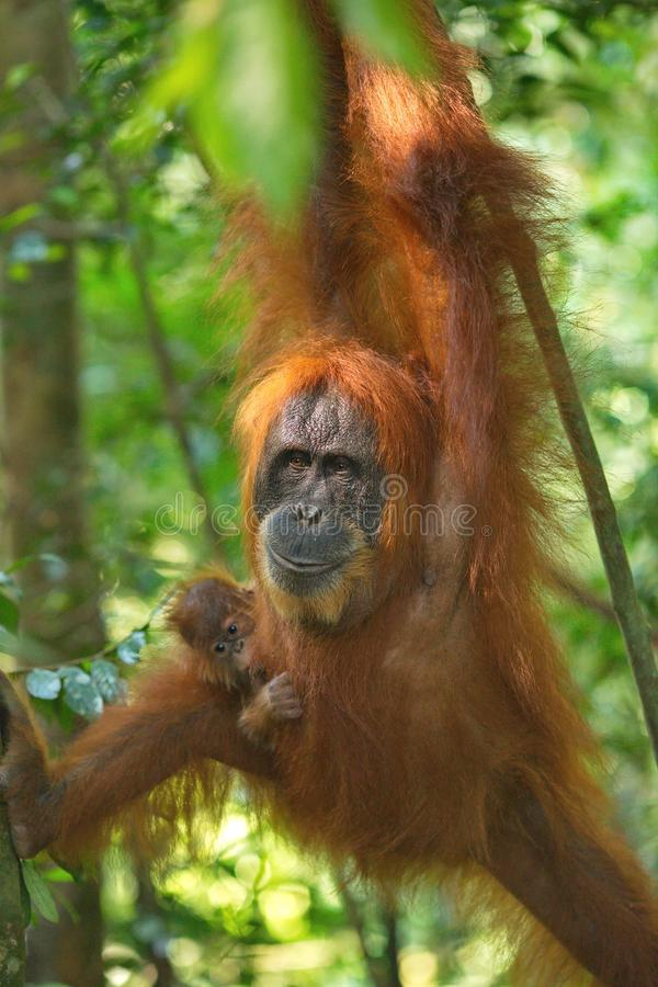 Orangutan with a cub  in the jungle royalty free stock image