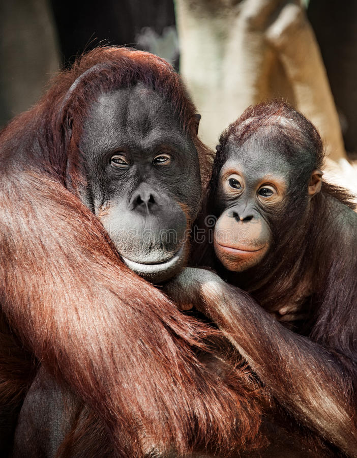 The orangutan with a cub redhead, hairy close with sad eyes portrait vertical shot royalty free stock photography
