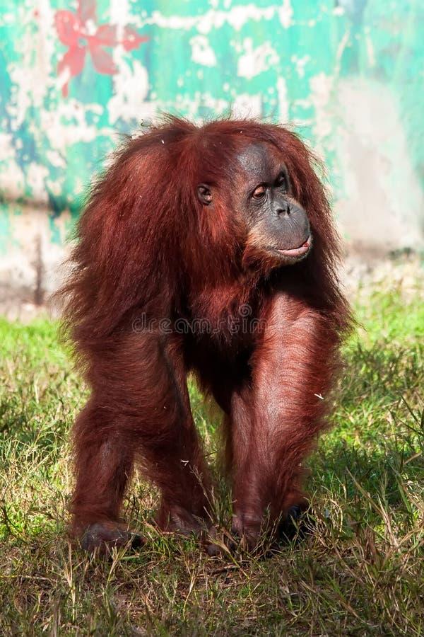 Download Orangutan stock photo. Image of indonesia, arboreal, animals - 33298940