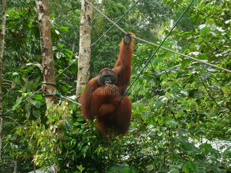 Orangutan d'alimentazione nel centro della fauna selvatica di Semenggoh, Borneo, Malesia fotografie stock libere da diritti