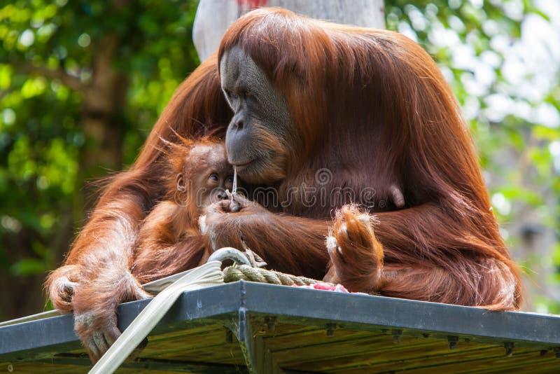 Orangutan della madre con il suo bambino immagine stock libera da diritti