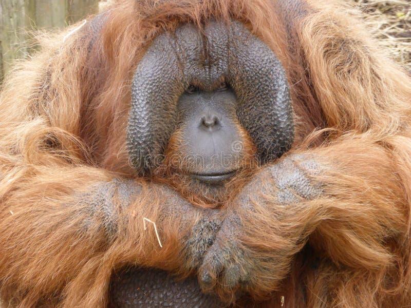 Orangutan di Bornean che esamina fuori il mondo fotografie stock libere da diritti