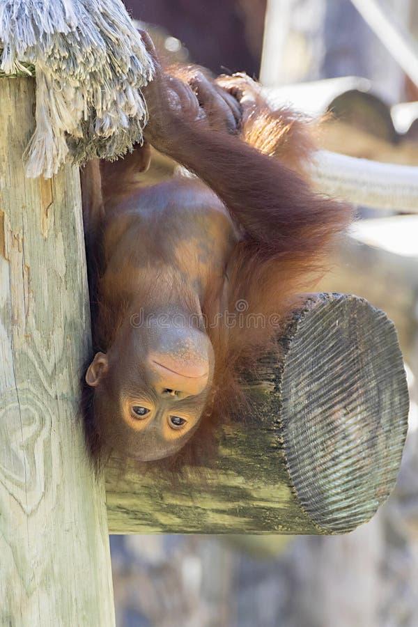 Orangutan di Bornean del bambino che appende sottosopra immagine stock