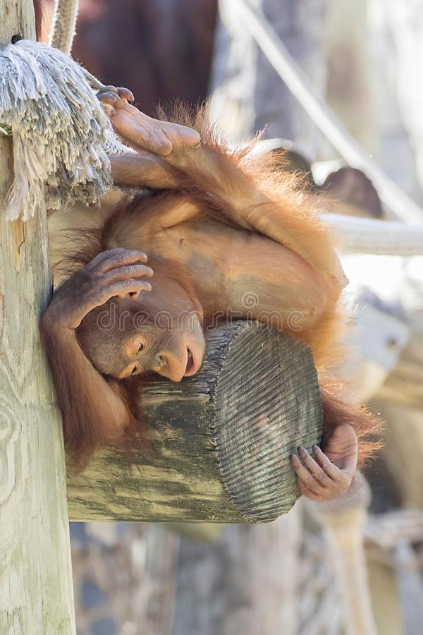 Orangutan di Bornean del bambino che graffia la sua testa fotografia stock libera da diritti