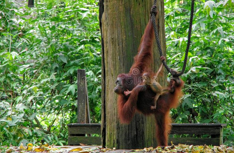 Orangutan di Sepilok fotografia stock