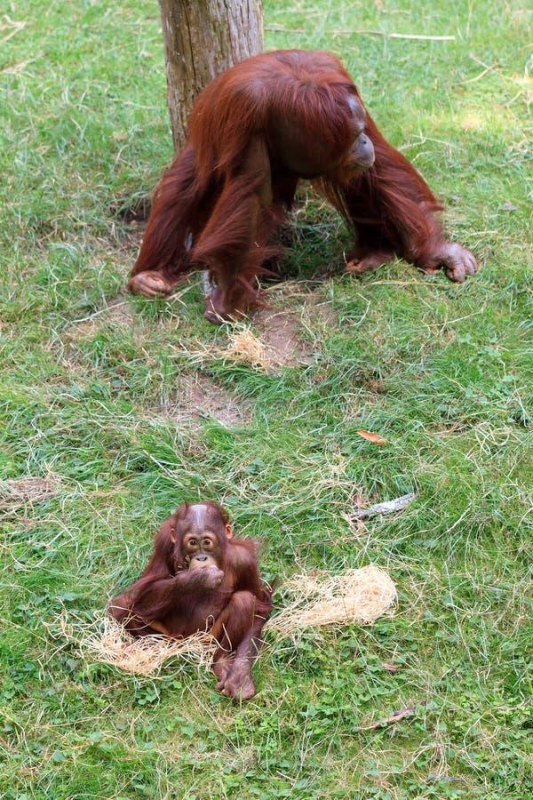Orangutan e bambino di Bornean fotografia stock libera da diritti