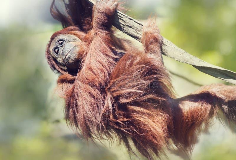 Orangutan en el árbol fotografía de archivo libre de regalías