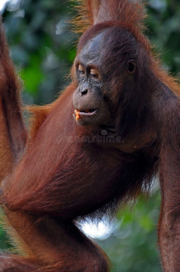 Orangutan Female royalty free stock photo
