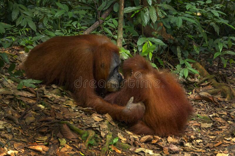 Orangutan female with cub in natural habitat. On a sunny day stock photography
