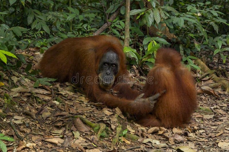Orangutan female with cub in natural habitat. Rainforest, jungle royalty free stock photography