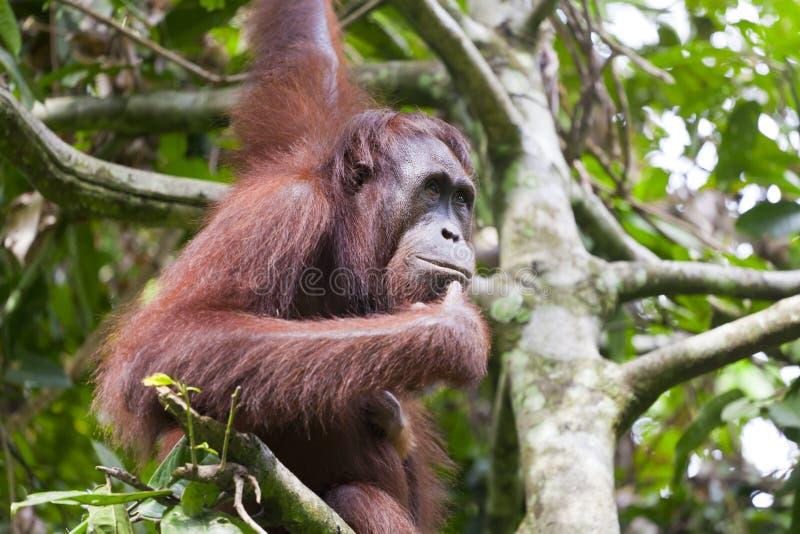 Orangutan główkowanie na drzewie fotografia stock