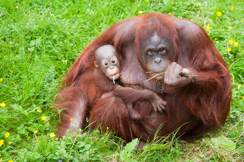 Download Orangutan With Her Cute Baby Royalty Free Stock Photography - Image: 20124937