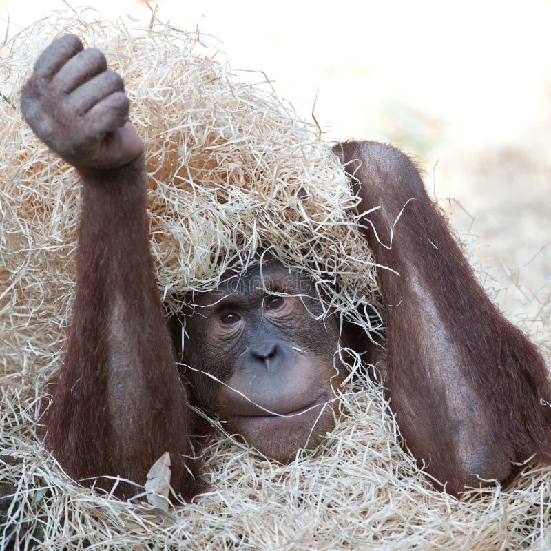 Orangutan Hiding Under Hay Stock Image
