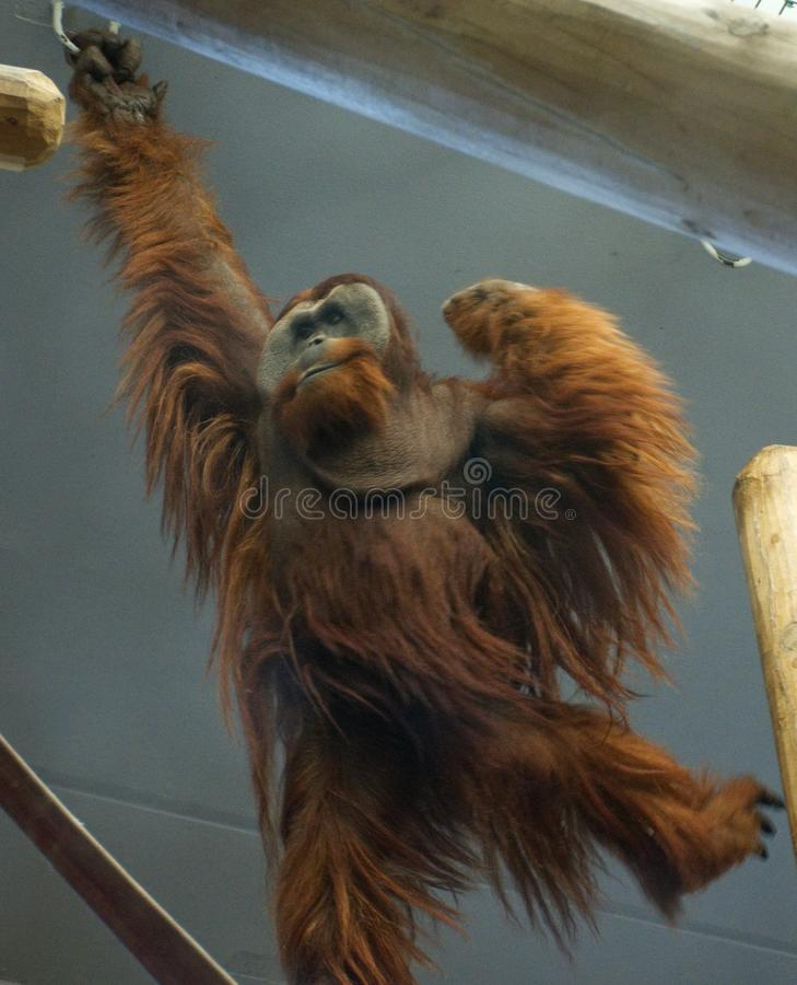 Orangutan huśtawki w niewoli fotografia stock