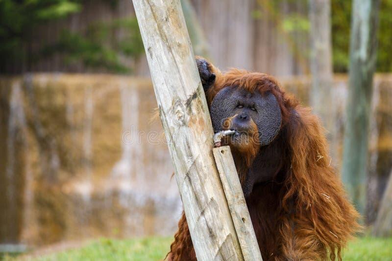 Orangutan i Zoo arkivbild