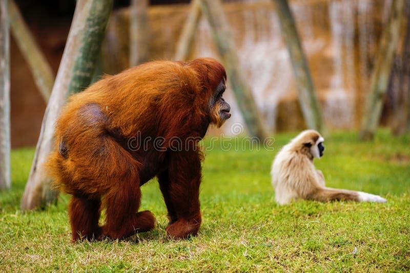 Orangutan i Zoo royaltyfria bilder