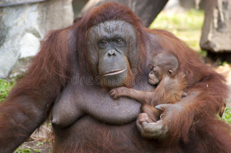 Orangutan infant cling to the mother royalty free stock images