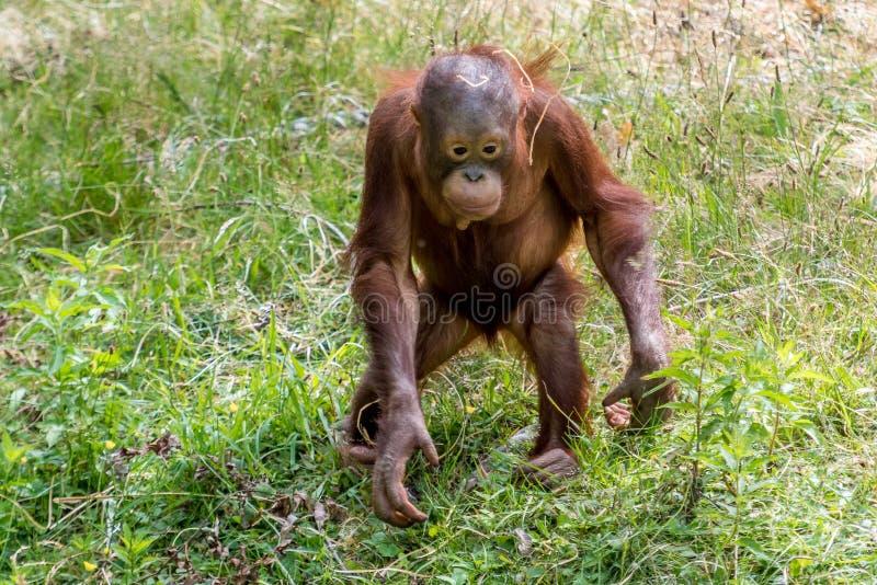 Orangutan jong plays with straw royalty free stock photos