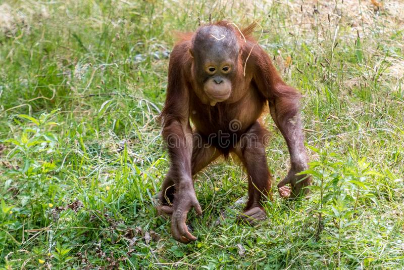 Orangutan jong sztuki z słomą zdjęcia royalty free