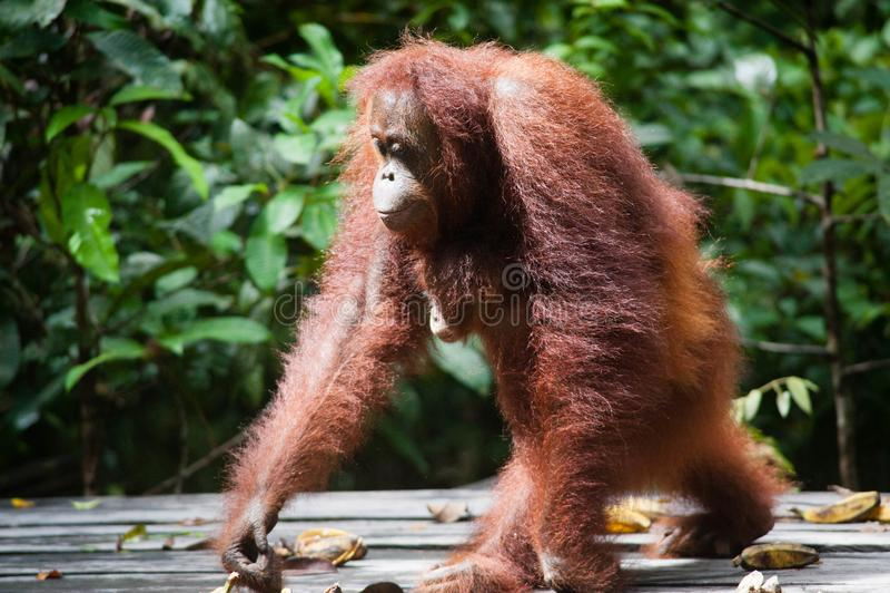 Orangutan kalimantan tanjung που βάζει το εθνικό πάρκο που το εθνικό πάρκο Ινδονησία στοκ φωτογραφία