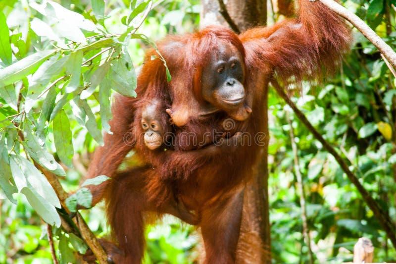 Orangutan kalimantan tanjung που βάζει το εθνικό πάρκο Ινδονησία στοκ φωτογραφία με δικαίωμα ελεύθερης χρήσης