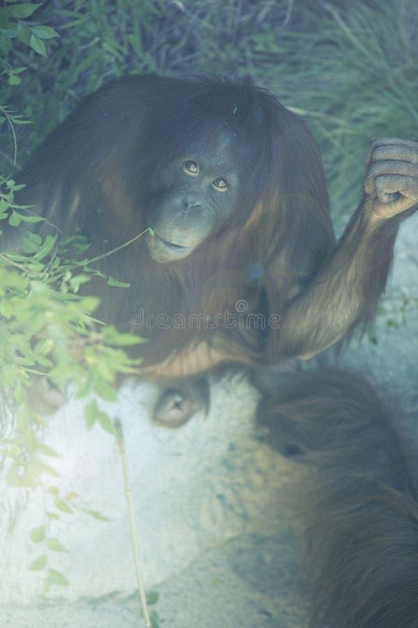 Orangutan looking up from the jungle floor stock photography