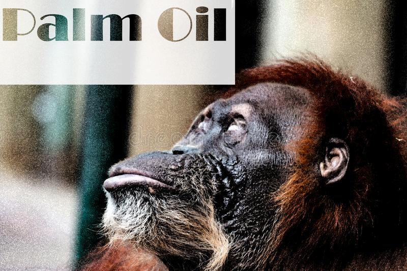 An Orangutan looking at the words palm oil. Deforestation: Borneo tropical rainforest is destroyed for oil palm. Deforestation: Borneo tropical rainforest is royalty free stock image