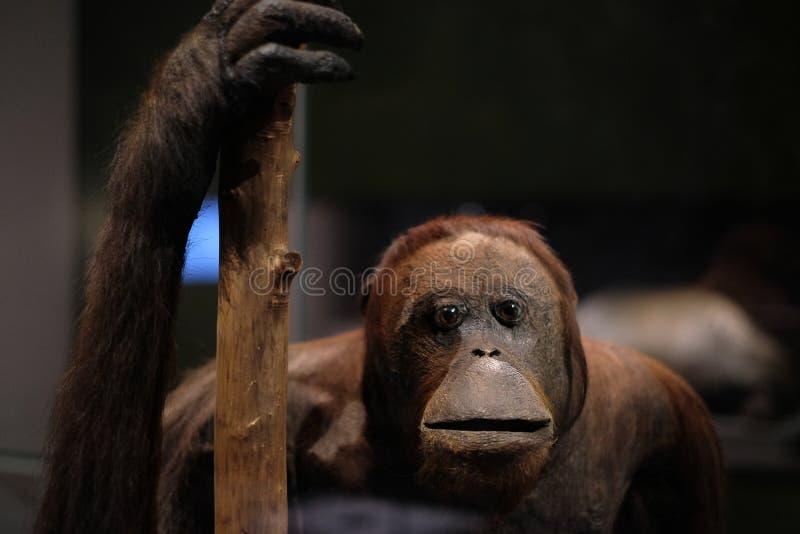 Orangutan małpy zakończenie up zdjęcie royalty free