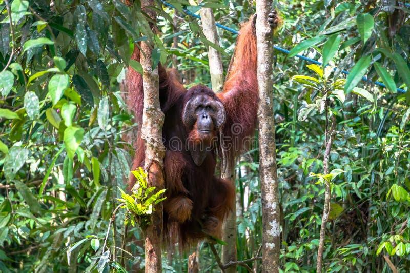 Download Orangutan stock image. Image of flora, mammal, leaves - 56944465