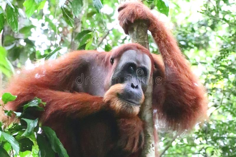 Orangutan Male Thinking stock photo