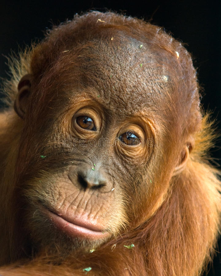 orangutan malu νεολαίες στοκ φωτογραφίες