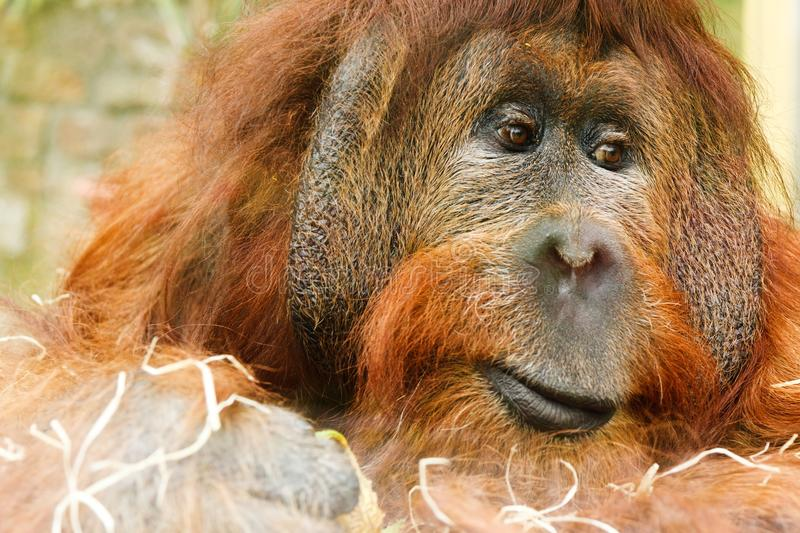 Orangutan, Mammal, Great Ape, Fauna royalty free stock images