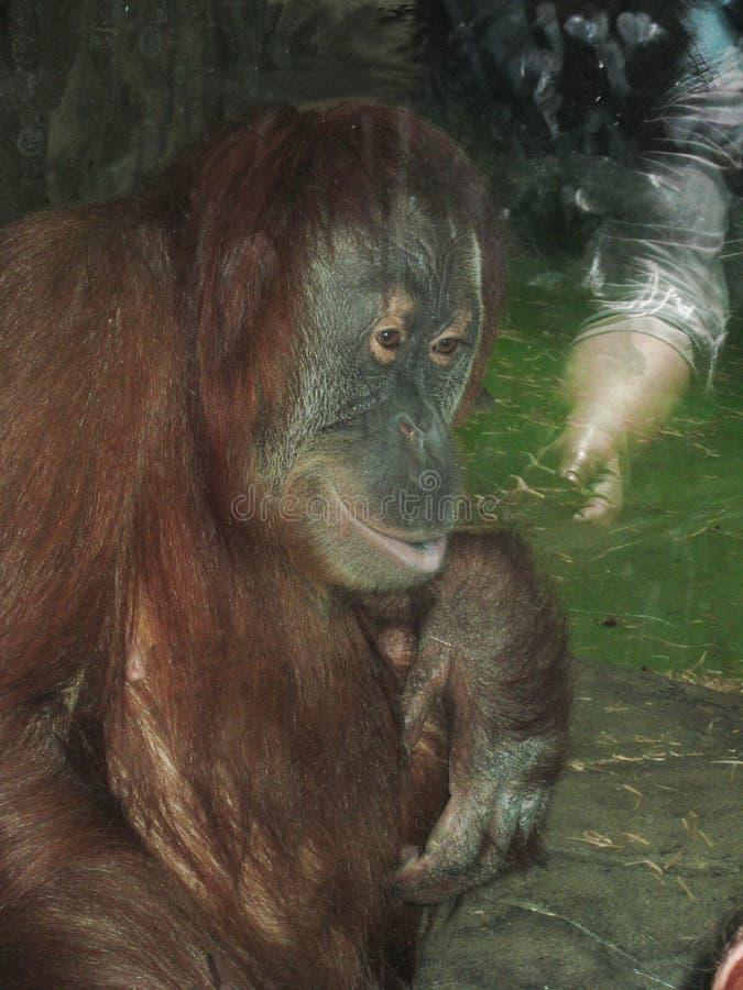 Orangutan maschio nello zoo dietro il vetro immagine stock libera da diritti