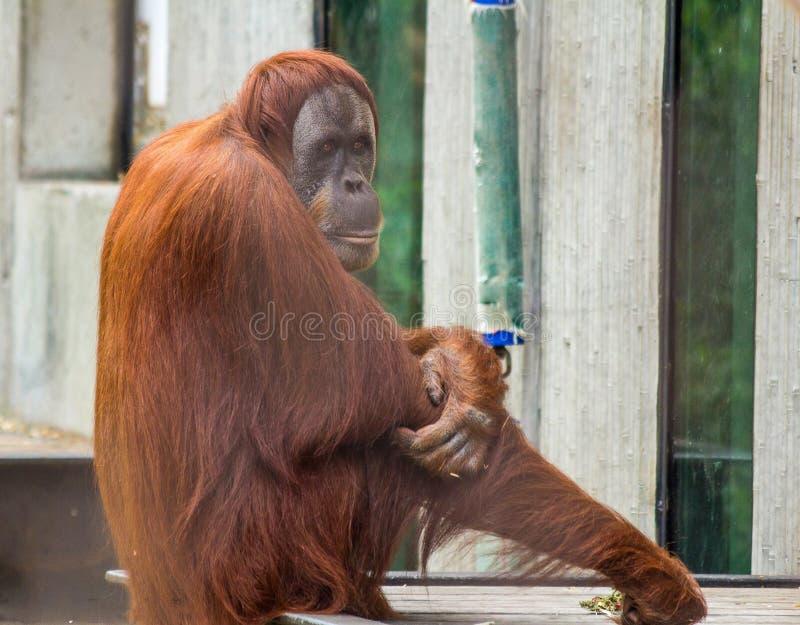 Orangutan royalty free stock photos