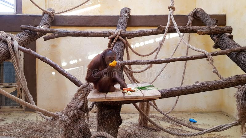 Orangutan monkey behind a glass in a zoo eats while sitting on a tree stock image