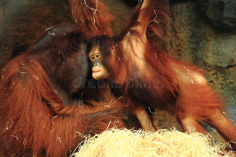orangutan monkey child royalty free stock images